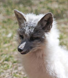 Zakończenie W górę portreta Arktyczny Fox Zdjęcia Royalty Free