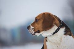 Zakończenie w górę portreta Beagle pies w zimie zdjęcie royalty free