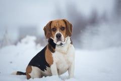 Zakończenie w górę portreta Beagle pies w zimie obraz stock