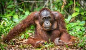 Zakończenie w górę portreta Bornean orangutan Obrazy Stock