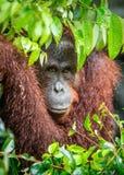 Zakończenie w górę portreta Bornean orangutan pod deszczem Zdjęcie Stock