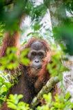 Zakończenie w górę portreta Bornean orangutan pod deszczem Zdjęcia Royalty Free