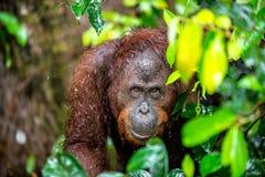Zakończenie w górę portreta Bornean orangutan x28 &; Pongo pygmaeus& x29; pod deszczem Fotografia Royalty Free