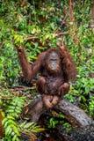 Zakończenie w górę portreta Bornean orangutan x28 &; Pongo pygmaeus& x29; pod deszczem Zdjęcia Royalty Free