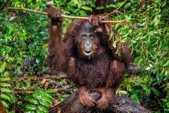 Zakończenie w górę portreta Bornean orangutan x28 &; Pongo pygmaeus& x29; pod deszczem Fotografia Stock