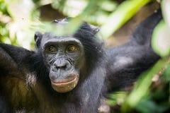 Zakończenie w górę portreta męski Bonobo w naturalnym siedlisku zielony środowisk naturalnych Bonobo (niecki paniscus) Fotografia Royalty Free