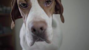 Zakończenie w górę portreta pointeru smutnego psa z brązów punktami patrzeje w kamerze Uroczy pies z miłym hazelnut przygląda się zbiory