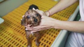 Zakończenie w górę ręki groomer obmyć mały pies przy dodatku specjalnego skąpaniem w zwierzęciu domowym przygotowywa salon zbiory