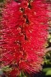 Zakończenie w górę rodzimego Australijskiego bottlebrush kwiatu Callistemon fotografia royalty free