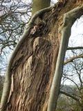 zakończenie w górę rozszczepionego żywego drzewnego bagażnika z odsłoniętym textured drewnem z adra wzorem i otaczanie plecy prze obraz stock