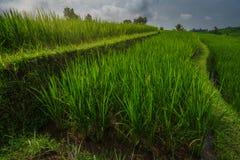 Zakończenie w górę ryżowych tarasów Jatiluwih obrazy stock