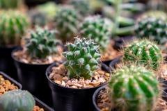 Zakończenie w górę szczegółu obrazka kaktus, Bullock foka fotografia royalty free