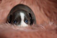 Zakończenie w górę uroczego Amerykańskiego łobuza szczeniaka ciekawie przyglądającego w górę obraz stock