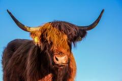 Zakończenie w górę widoku Górski bydło portret - antyczne szkockie krowy hodują, pasający w Sistani Tatrzańskich górach obrazy royalty free