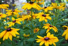 Zakończenie w górę z podbitym okiem Susan kwiatu w ogródzie obrazy royalty free