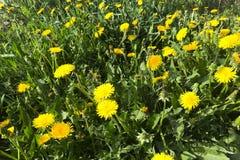Zakończenie w górę zielonego pola z żółtymi dandelions zdjęcie stock