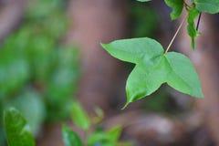 Zakończenie w górę zielonych wklęsłych liści jest 3 lobes i gładzi krawędzie na zamazanym tle, wskazujący liście zdjęcia royalty free