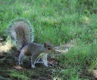 Zakończenie Wciąż, Pozująca wiewiórka Zdjęcie Royalty Free