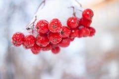 Zakończenie wiązka czerwone jagody halny popiół na białym backgroun Obraz Stock