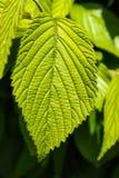 Zakończenie wiązu liść przeciw zamazanemu liścia tłu - selekcyjna ostrość obraz stock