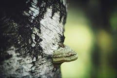 Zakończenie widok pieczarka na brzozy drzewie fotografia royalty free