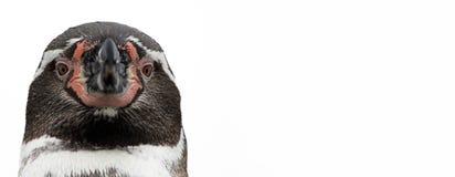 Zakończenie widok pingwin, odizolowywający Obrazy Stock