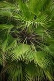 Zakończenie widok zielony drzewko palmowe liść Obraz Royalty Free