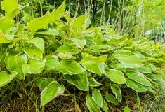 Zakończenie wielka szeroka liść roślina Obrazy Royalty Free