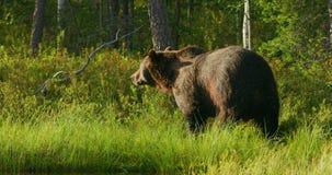 Zakończenie wielki dorosły brown niedźwiedź chodzi swobodnie w lesie zdjęcie wideo