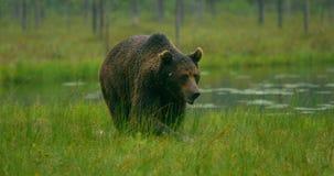Zakończenie wielki dorosły brown niedźwiedź chodzi swobodnie w lesie przy nocą zdjęcie wideo