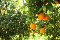 Zakończenie wieloskładnikowe organicznie dojrzałe perfect pomarańczowe owoc wiesza na gałąź w lokalnych produkt spożywczy rolnika Zdjęcia Stock
