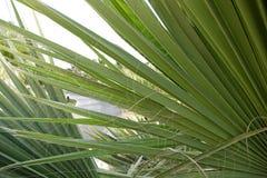 Zakończenie wierzchołek drzewko palmowe Zdjęcia Royalty Free