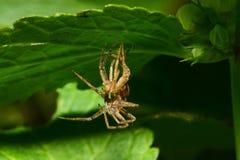 Zakończenie wilka młodzi zatarci Arachnida siedzi pod a obrazy royalty free