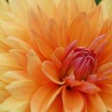 Zakończenie wizerunek Piękna Pomarańczowa chryzantema Fotografia Stock
