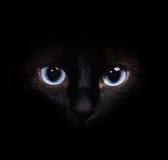 Zakończenie wizerunek portret Syjamski kot obrazy stock