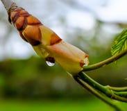 Zakończenie wodna kropelka na młodym końskim cisawym drzewie pokazuje nowego sporing przyrosta obraz stock