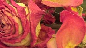 Zakończenie wysuszone róże kwitnie wirować na burlap tle zbiory wideo