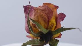 Zakończenie wysuszone róże wiruje na białym tle zbiory wideo