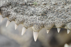 Zakończenie zęby krokodyl fotografia stock