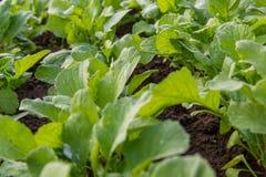 Zakończenie zielona rzodkiew up opuszcza w ogródzie w wiośnie Obraz Royalty Free