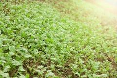 Zielony sadzonkowy rosnąć z ziemi Obrazy Royalty Free