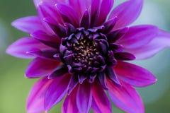 Zakończenie zmrok menchii dalii fiołkowy kwiat Obrazy Stock