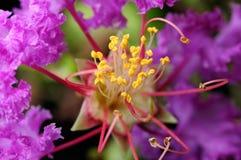 Crape mirtu kwiat Zdjęcia Stock