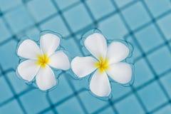 Zakończenia dwa kwiatów frangipani na wodzie Obrazy Stock
