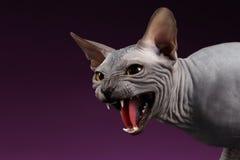 Zakończenia Sphynx Agresywny kot Syczy na purpurach Zdjęcia Stock