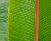 Zakończenie bananowy drzewo Zdjęcie Stock