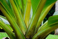 Zakończenie bananowy drzewo Obraz Stock