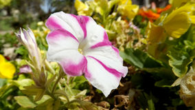 Zakończenie beaultiful kwiat Zdjęcie Royalty Free