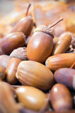 Zakończenie brown acorns zdjęcie royalty free