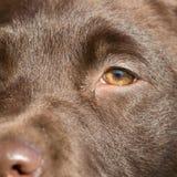 Zakończenie brown labrador Zdjęcie Royalty Free